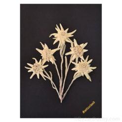 Véritable edelweiss séchés